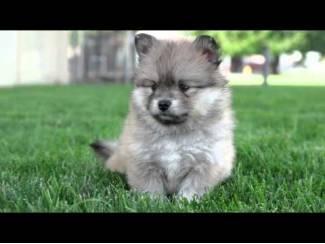 Puppies Pomsky, 2 jongens en 2 meisjes zijn beschikbaar