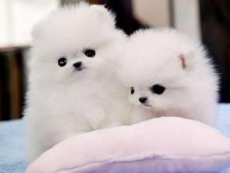 Mooie zuiver ras Pommerse puppy's.