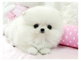 Gratis Pommeren puppies