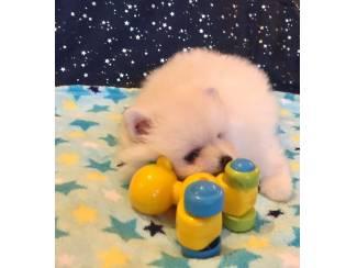 Honden en Puppy's Gezonde Pommerse puppy's hebben nood aan een nieuwe thuis