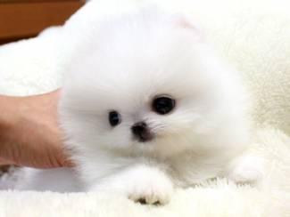Gezonde Pommerse puppy's hebben nood aan een nieuwe thuis