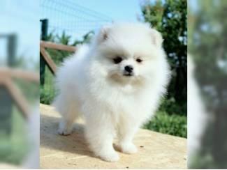 Gezonde Pommerse puppies beschikbaar