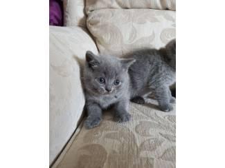 Prachtige Raszuivere Britse Kittens