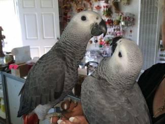 Congo Afrikaanse grijze papegaai te koop