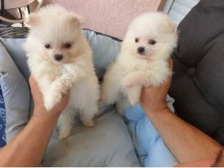 Mooie Pommeren puppy's te koop