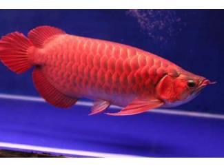 Kwaliteit Arowana-vissen van alle soorten