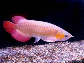 topkwaliteit Arowana-vissen van alle soorten