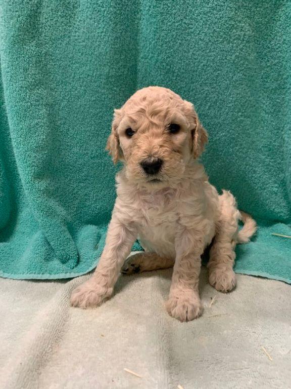 Goldendoodle-puppy's beschikbaar