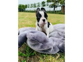 Honden en Puppy's franse bulldog pups zoeken gouden mandje
