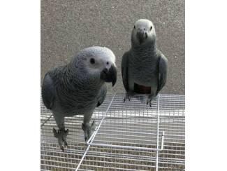 Mooie Afrikaanse grijze papegaaien te koop