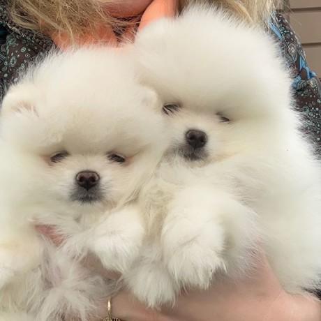 Geweldige Pommeren puppy's beschikbaar