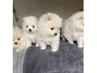 Zuivere witte Pommeren-puppy's te koop