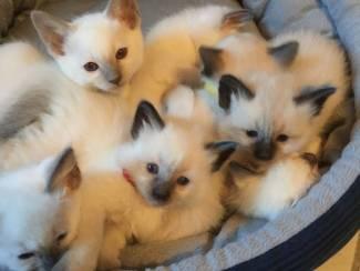 Gccf geregistreerd - Ragdoll-kittens met volledige stamboom