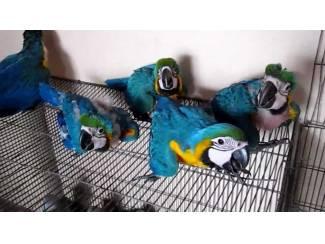 Met de hand grootgebrachte mooie blauwe en gouden ara-papegaai me