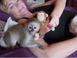 Overige Dieren en Toebehoren Chimpansee, kapucijner, eekhoorn, spin & marmoset apen beschikbaa
