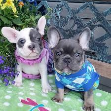 franse bulldog puppies poor adoptie