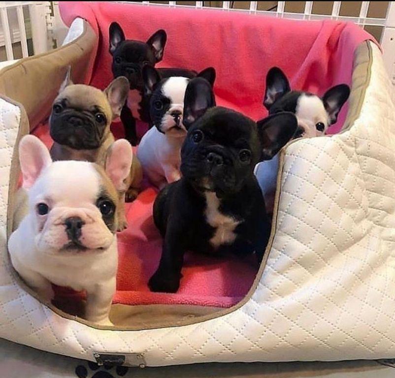 Mooie franse bulldog pup voor adoptie!!!
